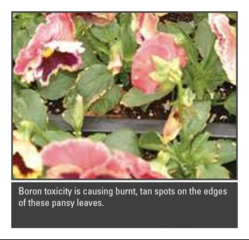 Boron toxicity on Pansy leaves