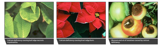Calcium deficiency causing leaf edge necrosis in Poinsettia, bract edge burn, blossom end rot of tomatoes