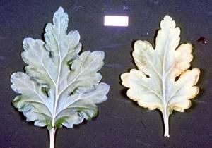 La feuille de chrysanthème de droite à une carence en cuivre.