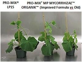Pepinos a los 33 días después de la siembra PRO-MIX MP MYCORRHIZAE ORGANIK