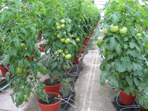 Producing Tomatoes In A Greenhouse. U201c