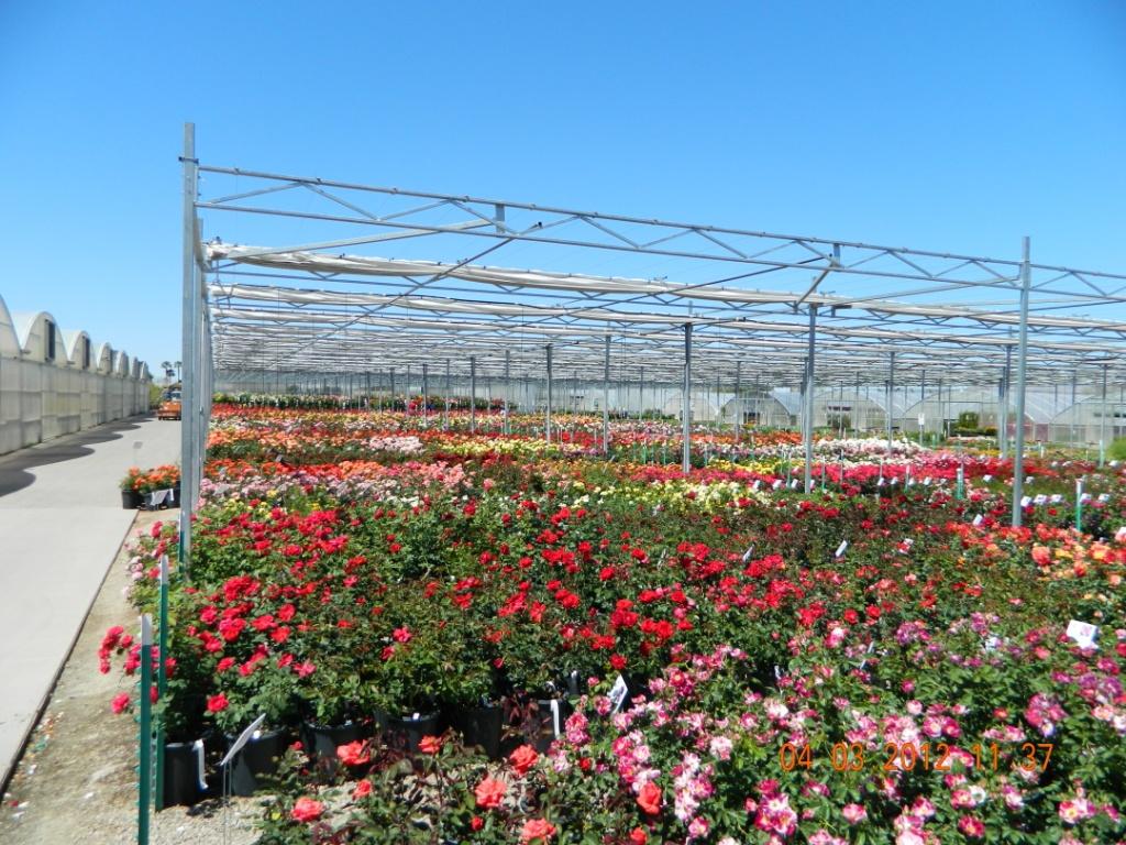 En el Annual Rose Show tienen una enorme selección de rosas listas para ser vendidas.