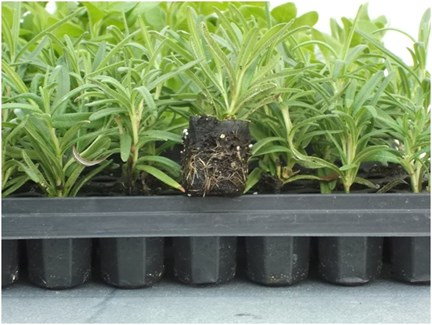 Propagation de jeunes plants dans des pots enveloppés de papier ...
