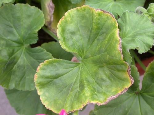 Cause of ph drop in geranium pro mix for Potasio para plantas