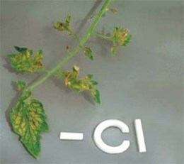 Chloride deficiency in Tomato leaf