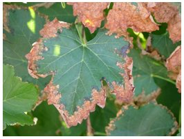 Sodium and Chloride toxicity symptoms in Maple