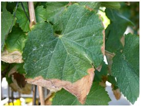 Sodium and Chloride toxicity symptoms in Grape