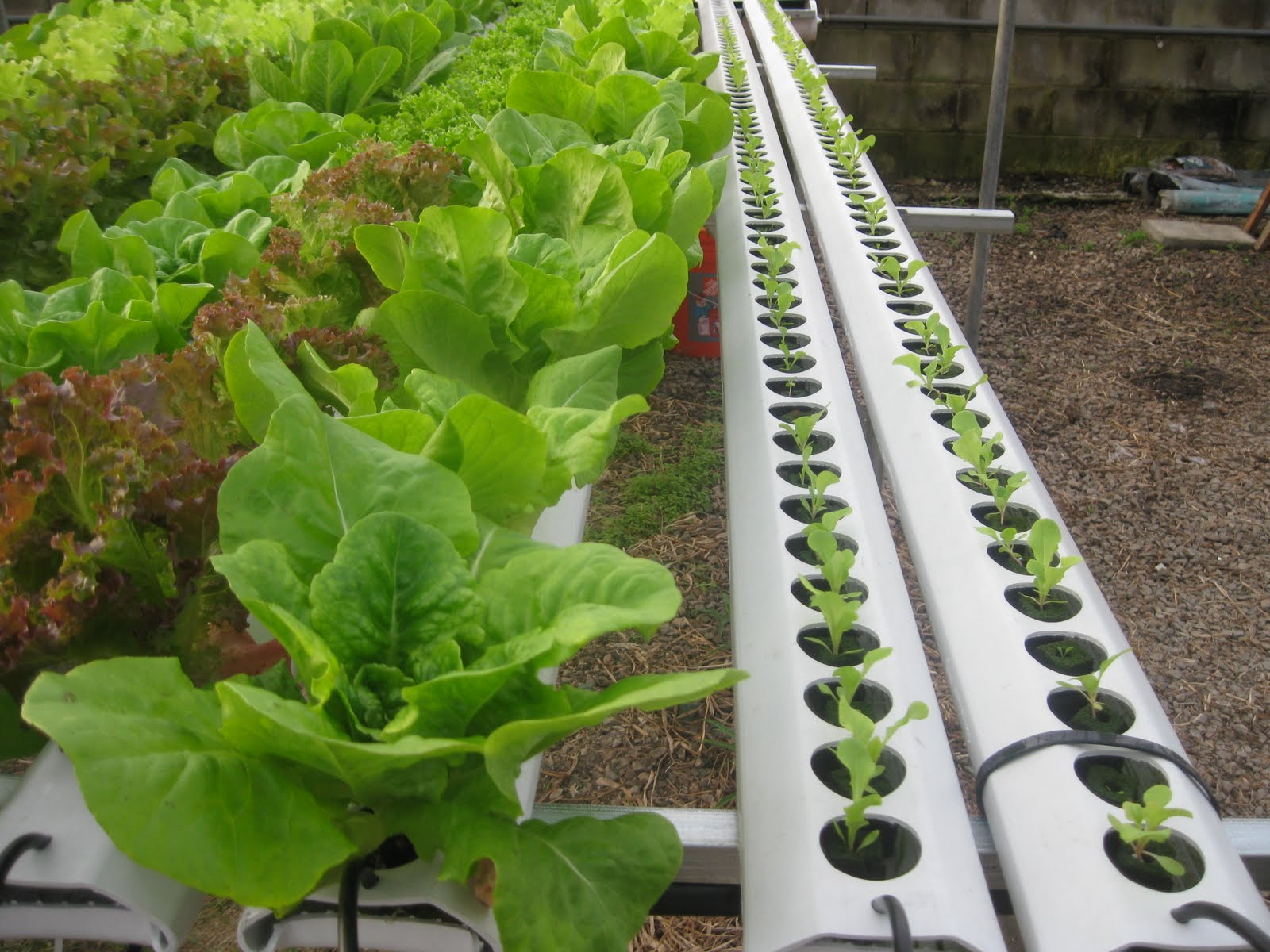 Classic hydroponic cultivation of lettuce without growing medium