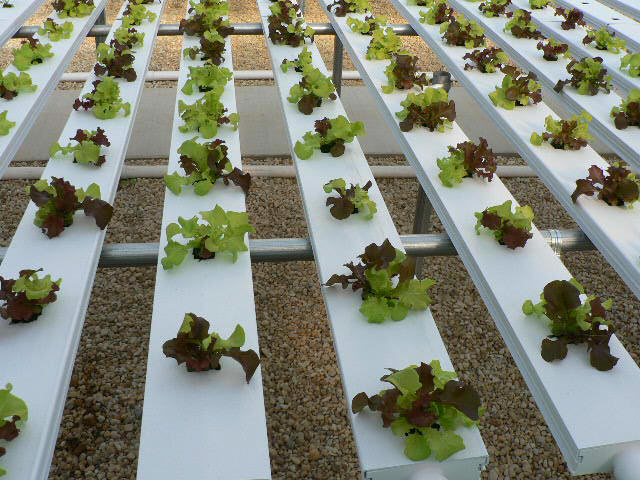 Lettuce started in soilless growing medium and then planted into hydroponic system