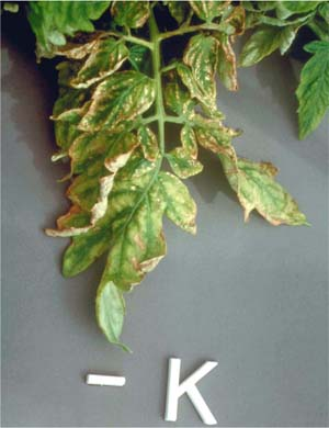 Potassium deficiency in tomato