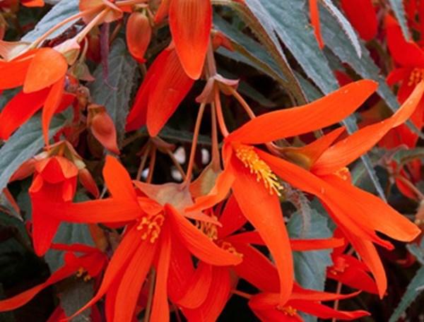 Crop Tips: Chrysanthemums   PRO-MIX