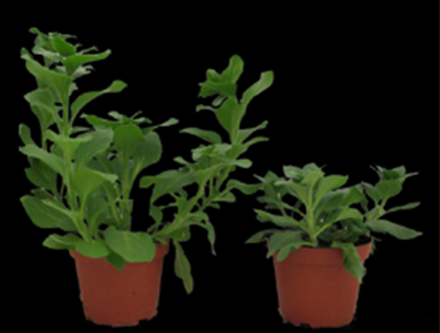 Stem elongation was minimized in the petunia on the right by exposing the plant to a -DIF.