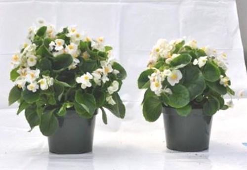 Begonia en sustrato de cultivo PRO-MIX HP-CC MYCORRHIZAE