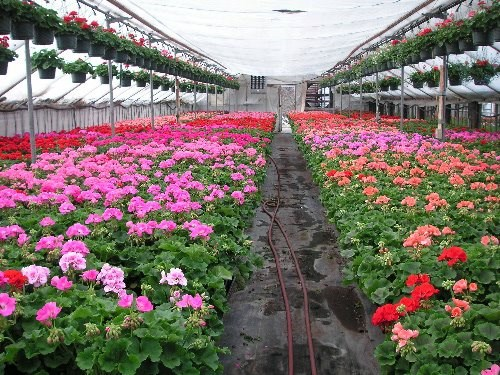 A sampling of the beautiful geraniums that are a landmark at Rudy and Son's Greenhouses.