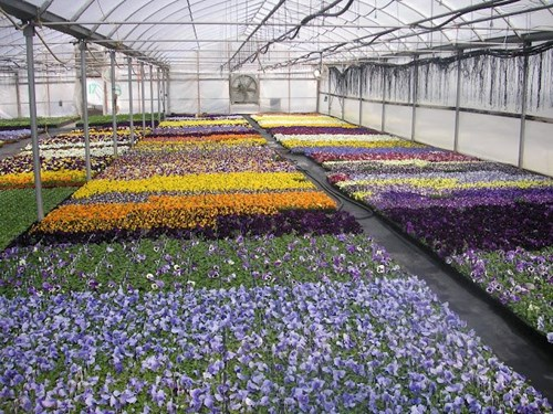 Another great pansy crop in Rudy and Son's Greenhouse.