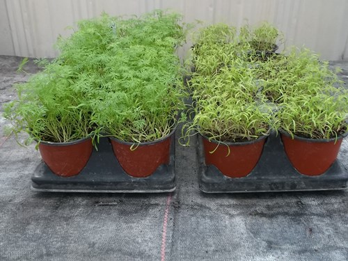 dill comparative growth