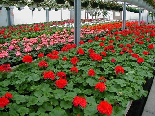 Cause de la baisse du ph chez le g ranium pro mix par premier tech horticulture - Quand planter les geraniums ...