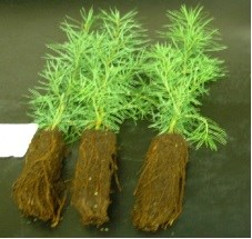 Rooted Douglas fir seedlings