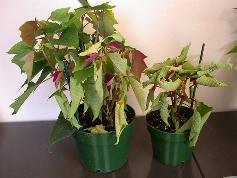Rhizoctonia - poinsettias wilted