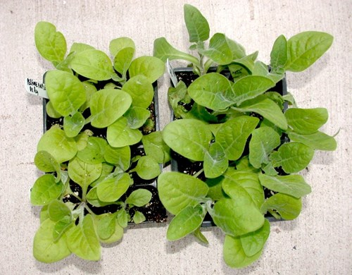 nicotiana plant growth with mycorrhizae from PRO-MIX