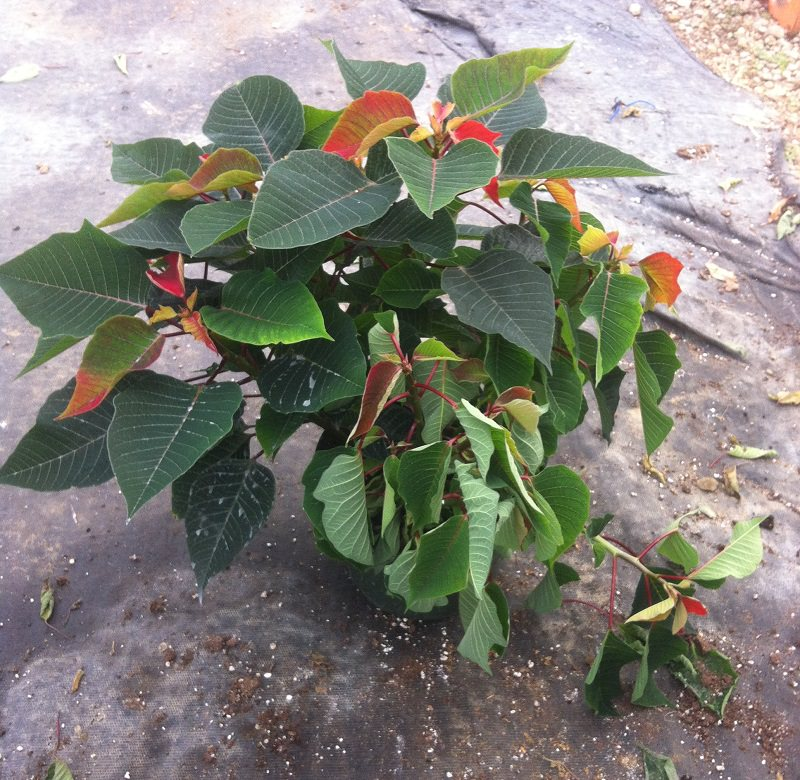 Janoski Poinsettia with root rot from PRO-MIX Greenhouse Growing