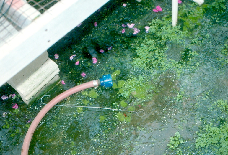 Hose on floor of a greenhouse in algae