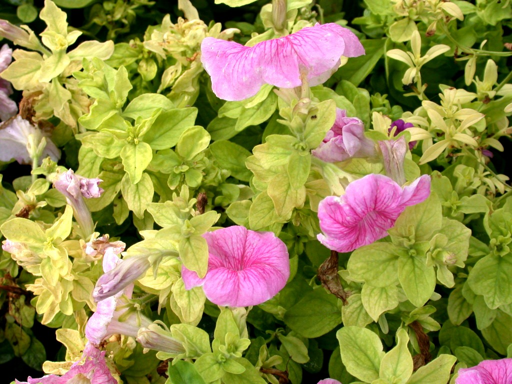 Iron Deficiency - Wave Petunia 2 PRO-MIX