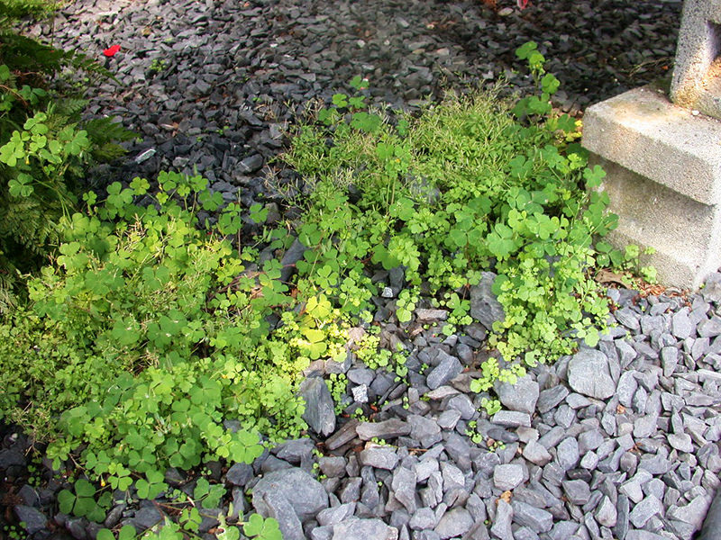 PRO-MIX Cardamine and Oxalis Under Bench Norcella
