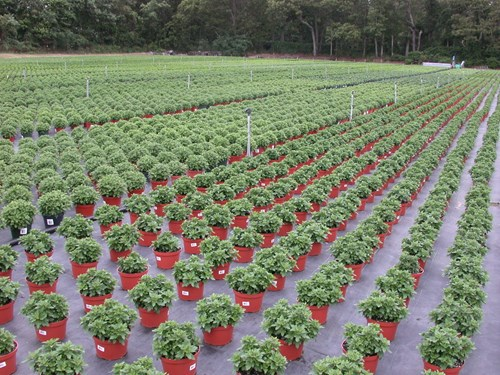 N&O - mums without weeds_tips on fertilizing.JPG (1)