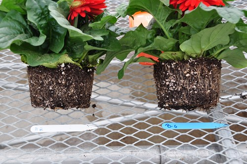 The gerbera on the right was inoculated with mycorrhizal fungi and has more roots.jpg