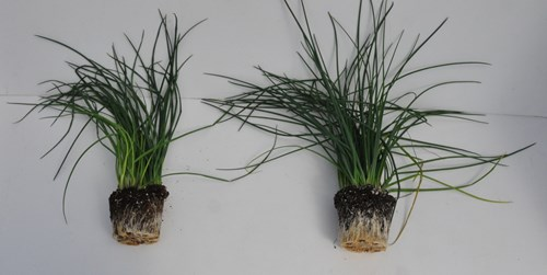 The chives on the right were inoculated with mycorrhizal fungi (2).jpg