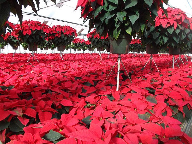 Poinsettia Fertilization Pro Mix Greenhouse Growing