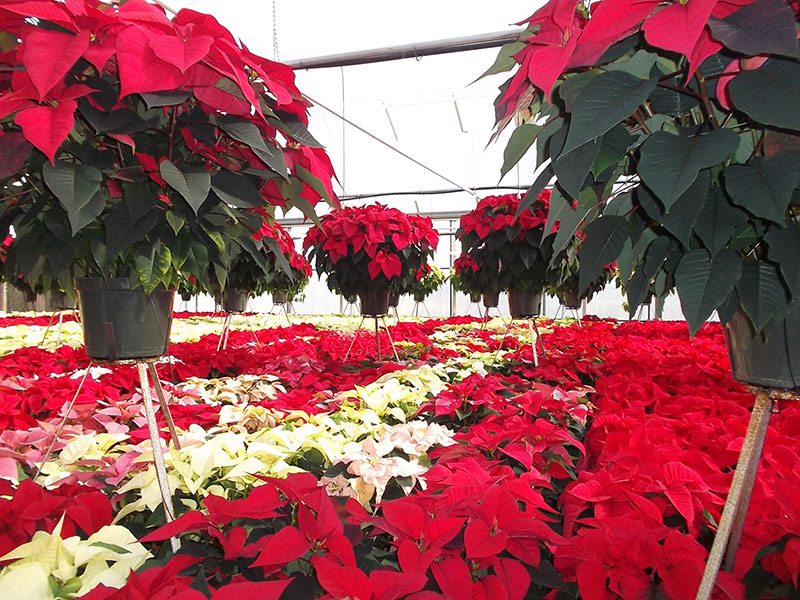 Poinsettia crop Lederers PRO-MIX Greenhouse Growing