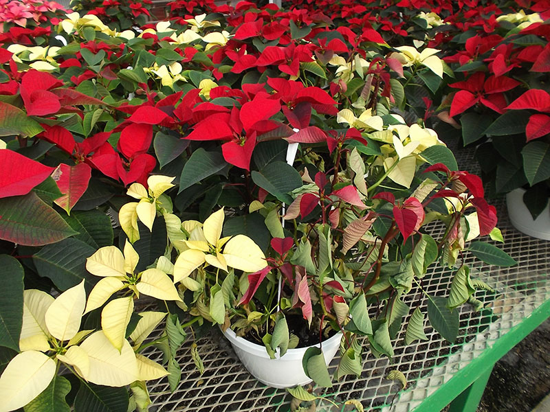 Root rot poinsettia PRO-MIX Greenhouse Growing