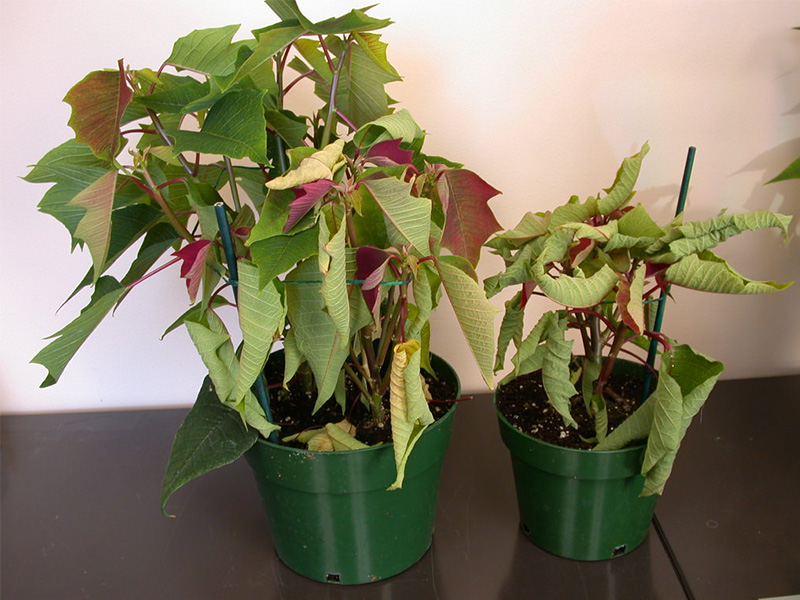 Rhizoctonia poinsettias wilted from PRO-MIX Greenhouse Growing