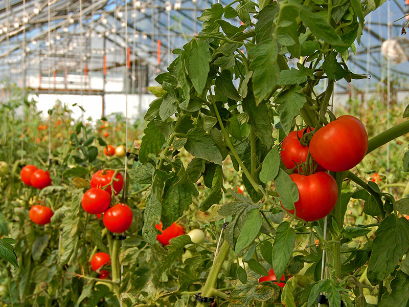 How Substrate Structure Influences Air Porosity Tomatoes in Greenhouse Premier Tech Horticulture