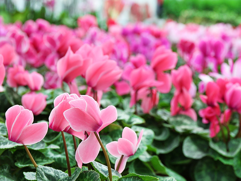 Cyclamen in greehouse