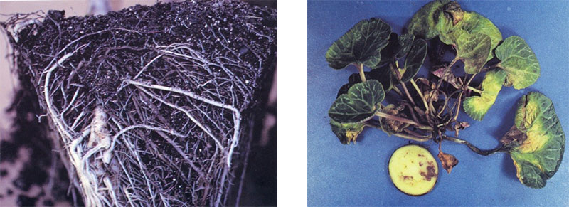 Fusarium wilt on cyclamen and root rot on cordyline. Photo credit: Ann-Chase, Formidable Fusarium