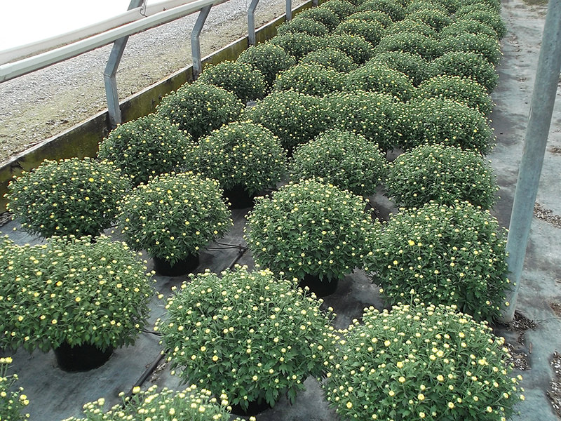 Brohl's Greenhouse Mum Crops