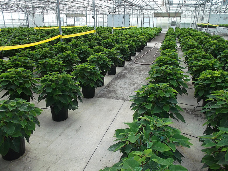 Brohl's Greenhouse Poinsettia Stock Plants