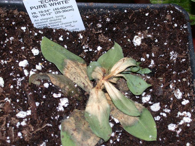 Invernadero Botrytis Newport Lisianthus Echo blanco puro enfermo