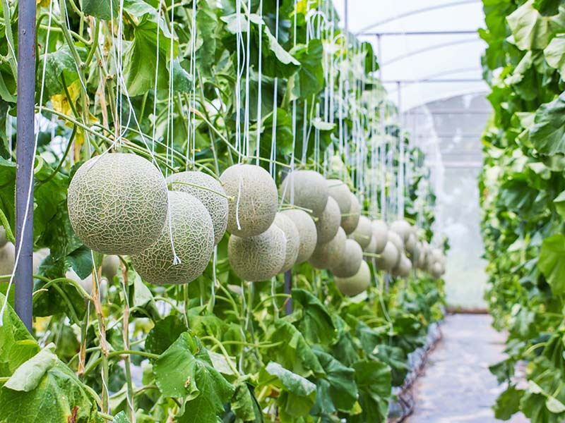 Watermelon in greenhouse