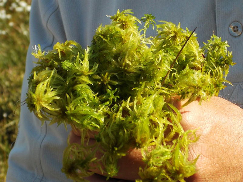 Sphagnum moss close-up