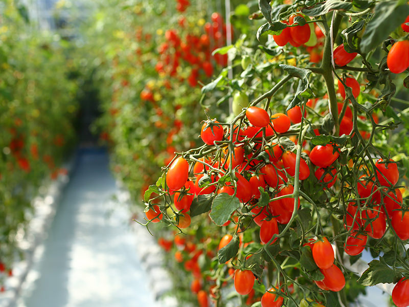Surprising Ideal Fertilization For Greenhouse Vegetables And Herbs Download Free Architecture Designs Ogrambritishbridgeorg
