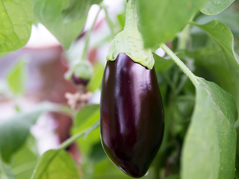 Eggplants grown in a greenhouse