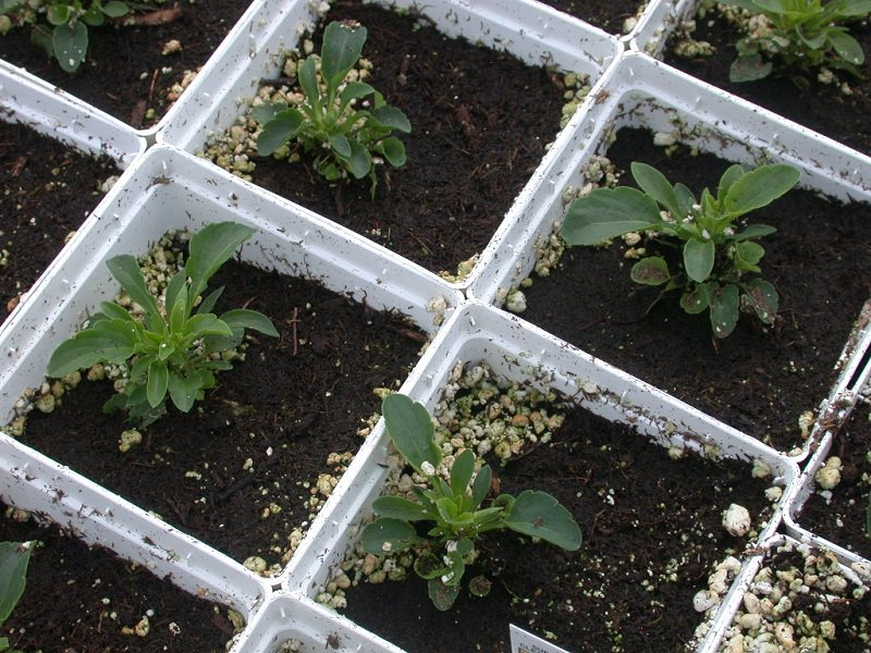 Heavy watering and perlite migration