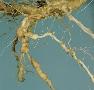 pthorticulture-Root-knot-nematode-galls-on-daylily.jpg