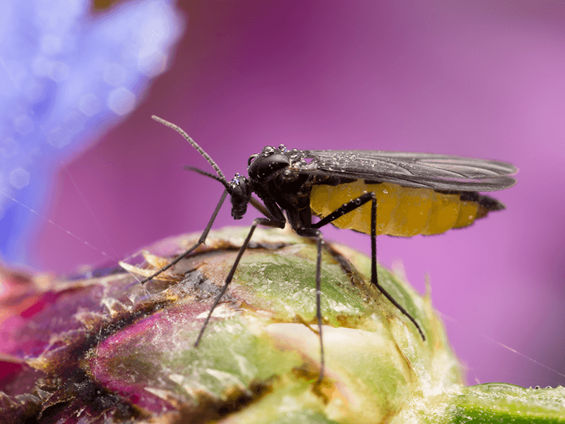 Dark-winged fungus gnat