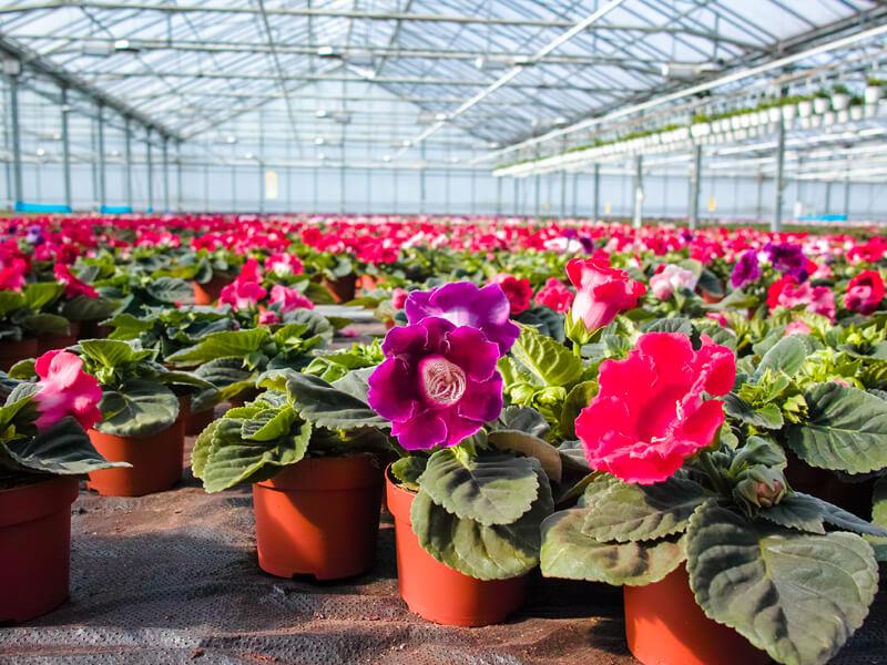 Flores ornamentales cultivadas en invernadero profesional.