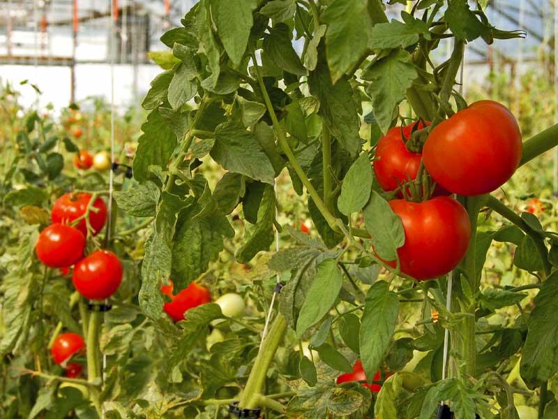 Tomates orgánicos en invernadero